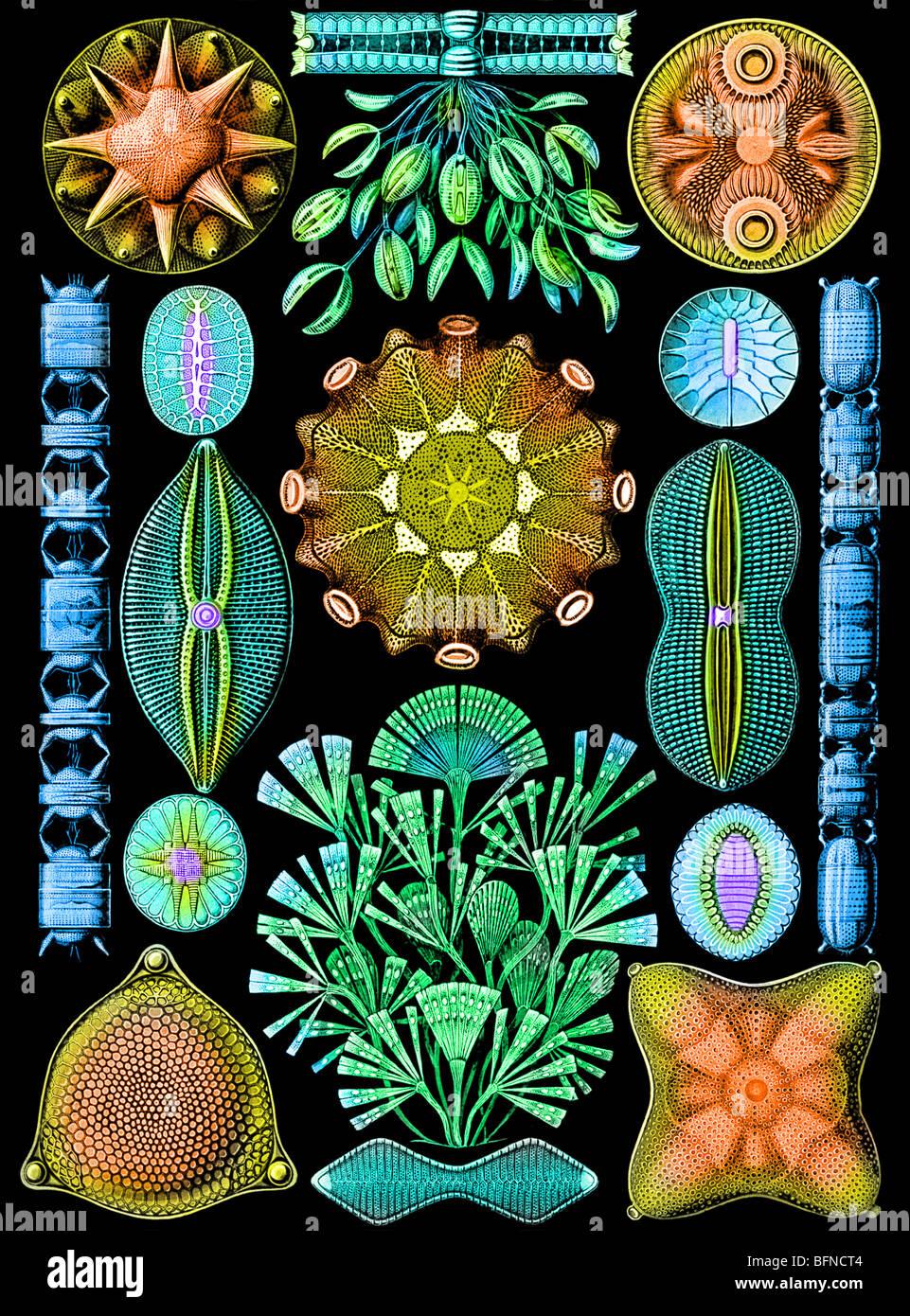 La piastra 84da Ernst Haeckel's Kunstformen der Natur (1904), raffigurante diatomee (Diatomea). Immagini Stock
