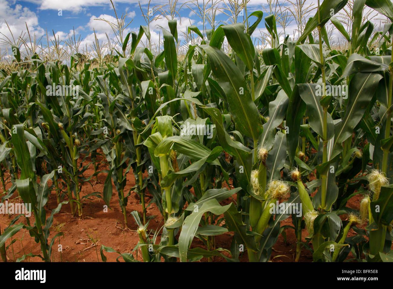 Campo di piante di mais Immagini Stock