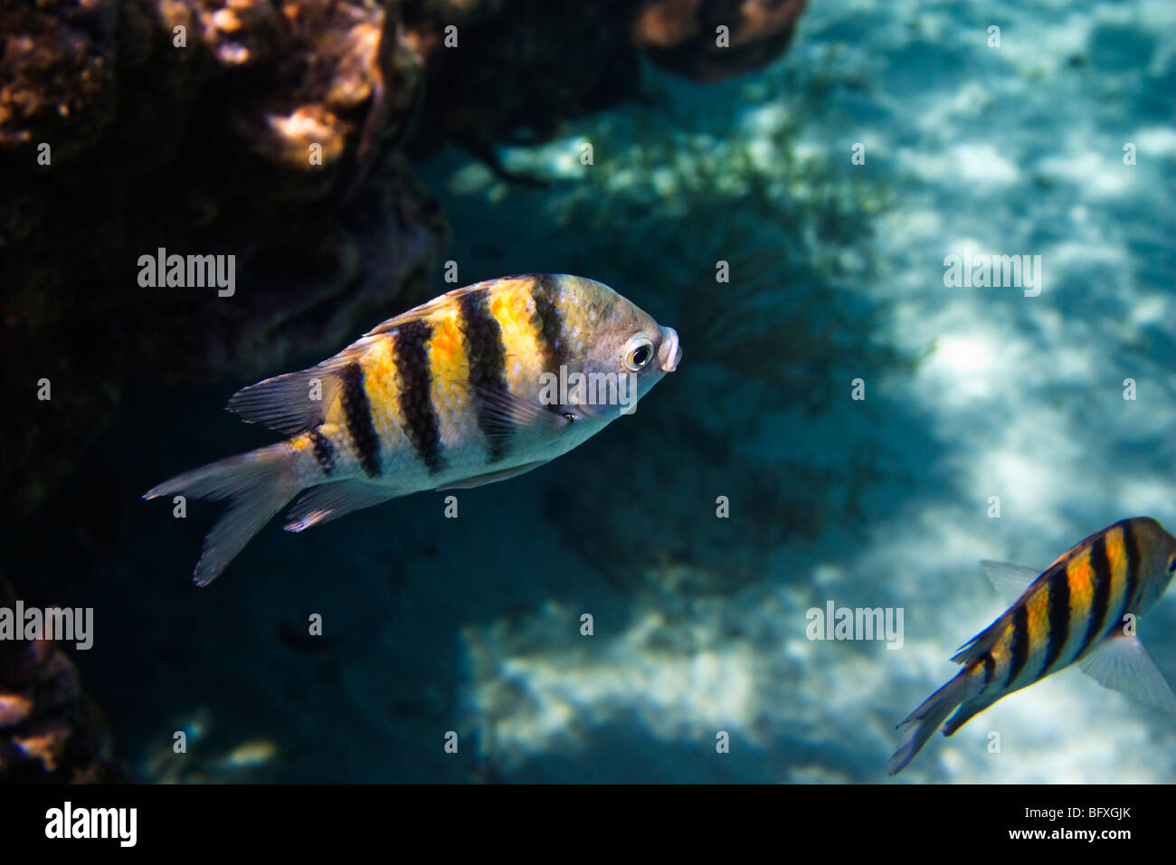 Abudefduf saxatilis, sergente Major pesci tra le barriere coralline, Cuba Immagini Stock