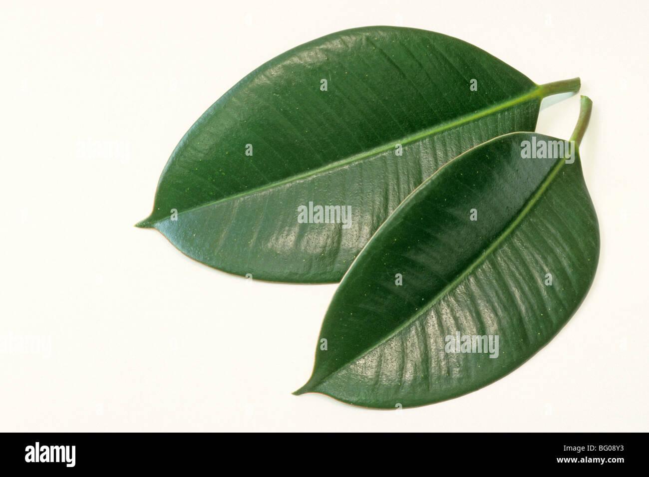 Come Riprodurre Il Ficus Benjamin india struttura in gomma, gomma fig (ficus elastica), due