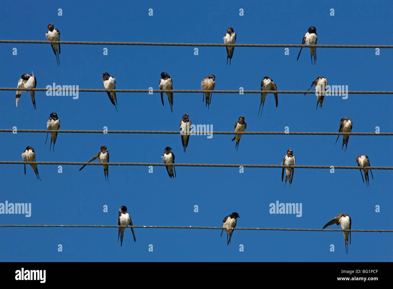 Fienile (europeo) swallow (Hirundo rustica) sul filo, Overberg, Western Cape, Sud Africa e Africa Immagini Stock