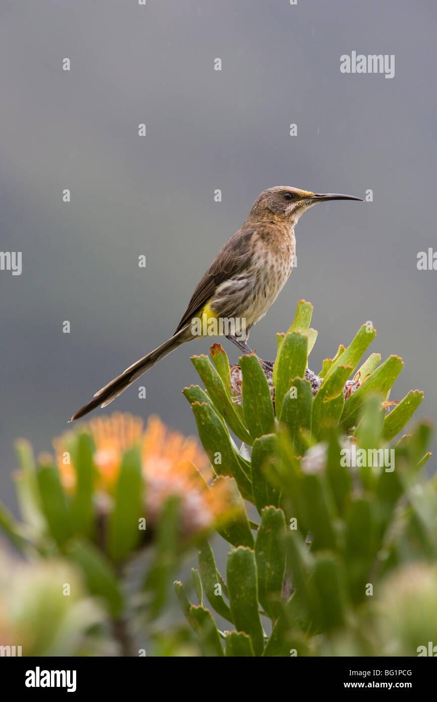 Cape sugarbird Promerops (CAFE), arroccato su protea, Giardini Botanici di Kirstenbosch, Cape Town, Sud Africa e Immagini Stock