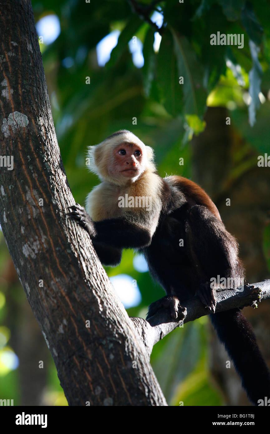 Di fronte bianco scimmia cappuccino, Montezuma, Nicoya peninsula, Costa Rica, America Centrale Immagini Stock