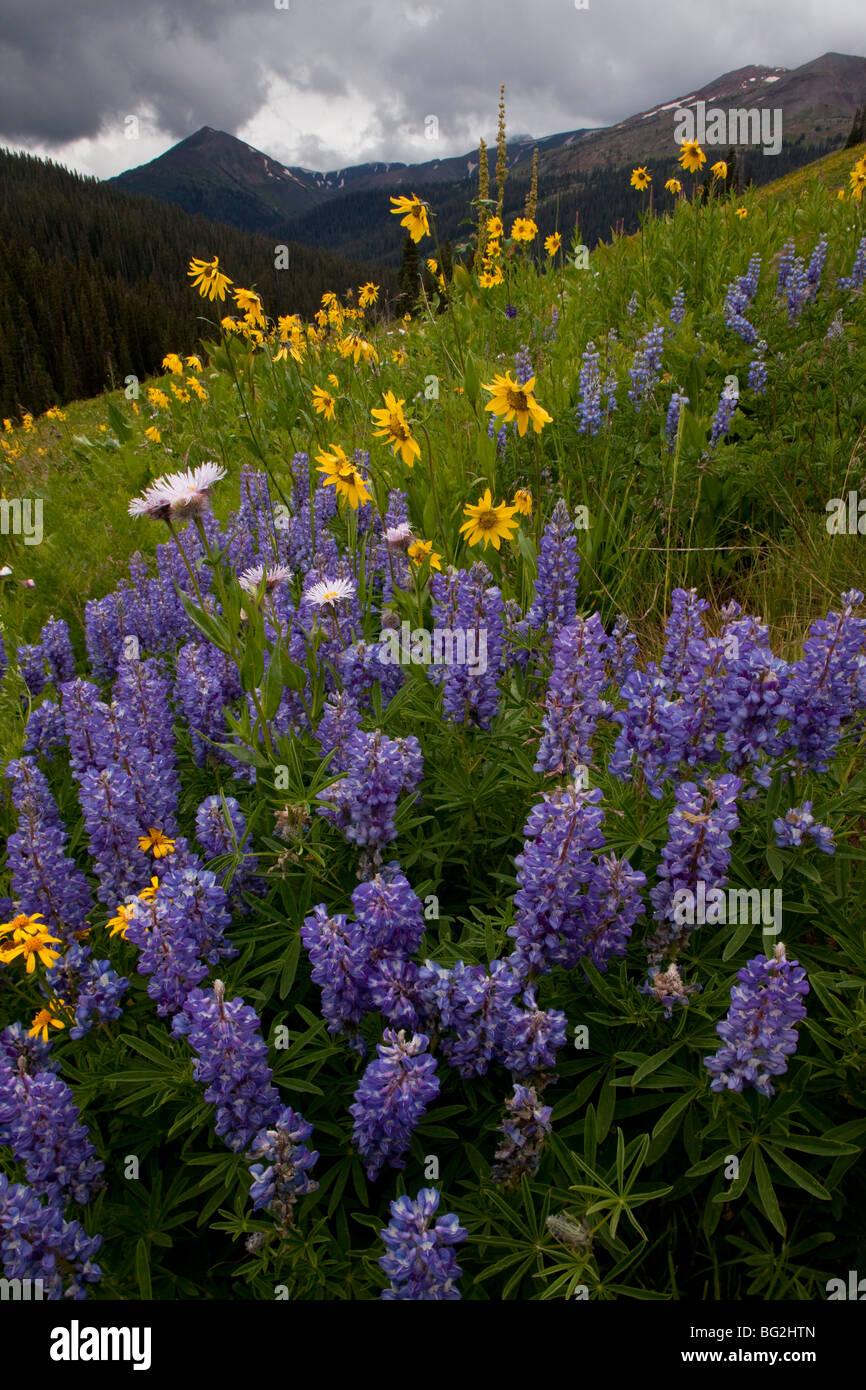 Spettacolare esibizione di estate fiori di montagna, compresi i lupini argenteo Lupinus argenteus West Maroon Pass Foto Stock