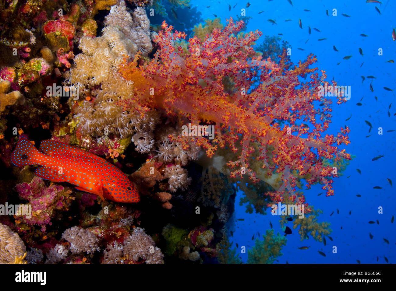 Barriere coralline del Mar Rosso, subacquea, reef tropicali, colorati coralli molli, pesce, anthias, scuba immersioni, Immagini Stock