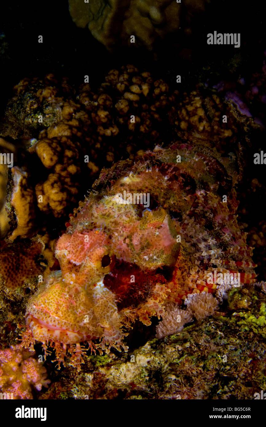 Barriere coralline del Mar Rosso, scorfano, dolorose, pericoloso, picchi, Venom, veleno, reef tropicali, oceano Immagini Stock