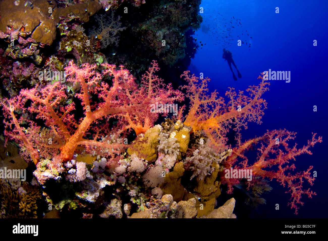 Barriere coralline del Mar Rosso, subacquea, Soft Coral reef tropicali, l'acqua è blu e profondo, visibilità, Immagini Stock
