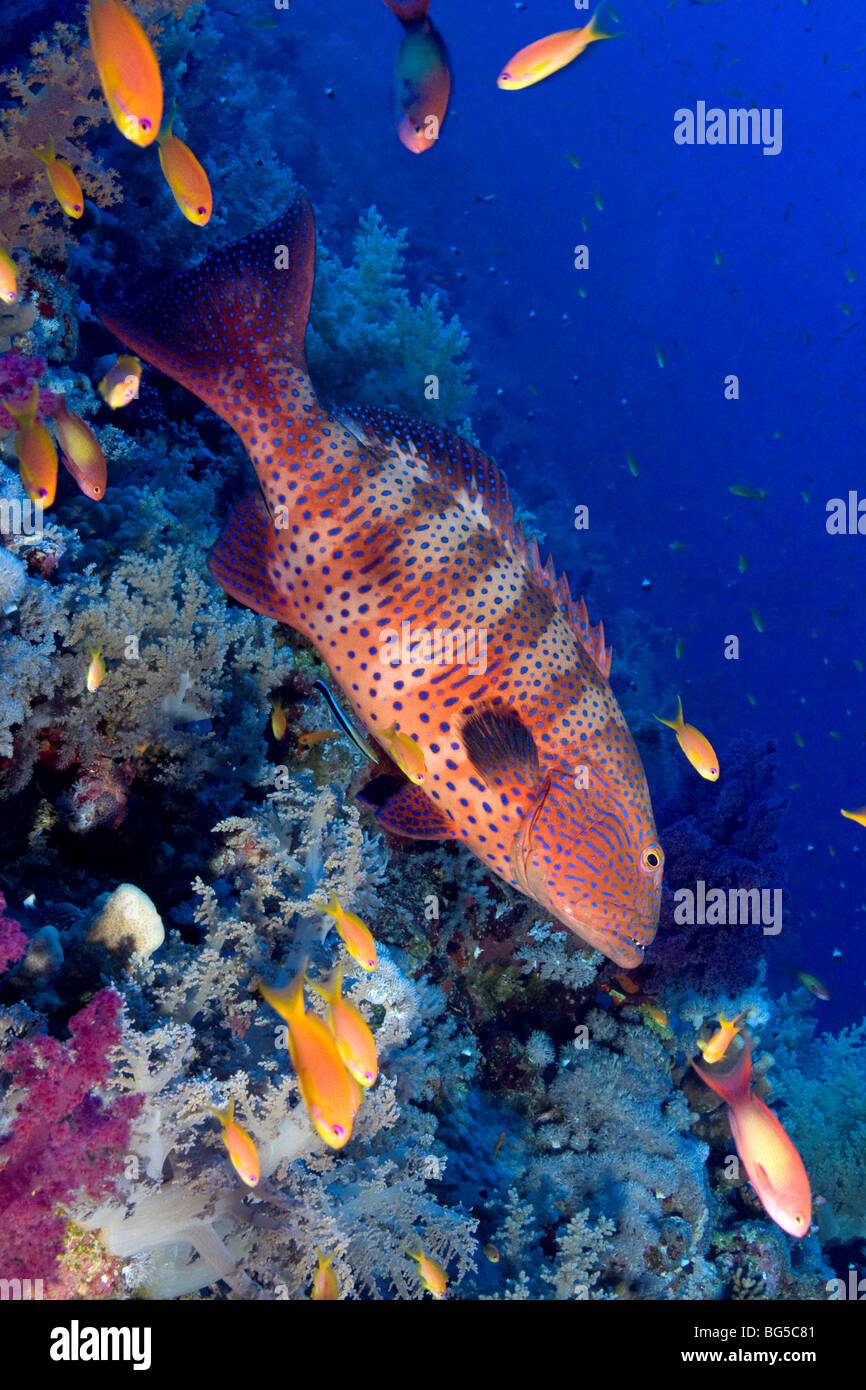Barriere coralline del Mar Rosso, subacquea, reef tropicali, pesce, anthias, acqua azzurra, scuba diving,, oceano Immagini Stock