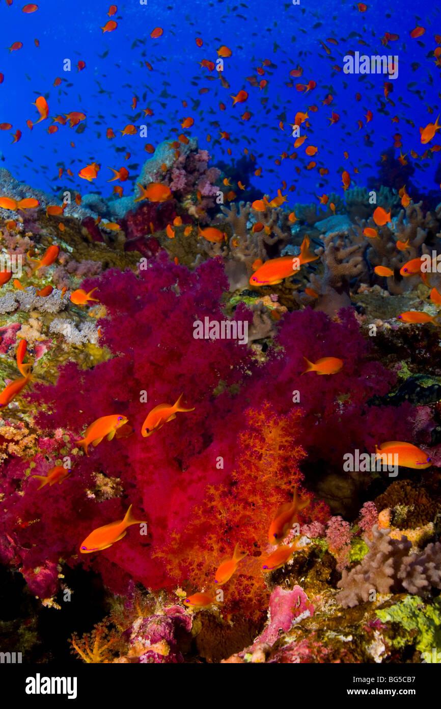 Barriere coralline del Mar Rosso, Ras Mohammed, natinal park, subacquea, reef tropicali, colorati coralli molli, Immagini Stock