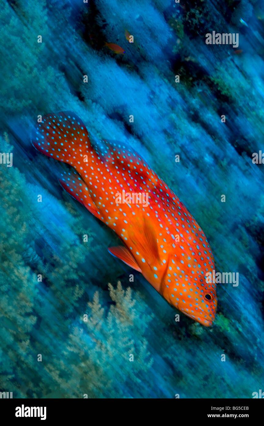 Barriere coralline del Mar Rosso, Ras Mohammed, parco nazionale, Egitto, cernie, pesci, reef tropicali, azione, Immagini Stock