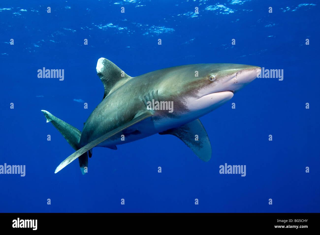 Oceanic white tip shark in Mar Rosso, Egitto, subacquea, predator, incredibili, blu acqua e vita marina, acqua azzurra, Immagini Stock