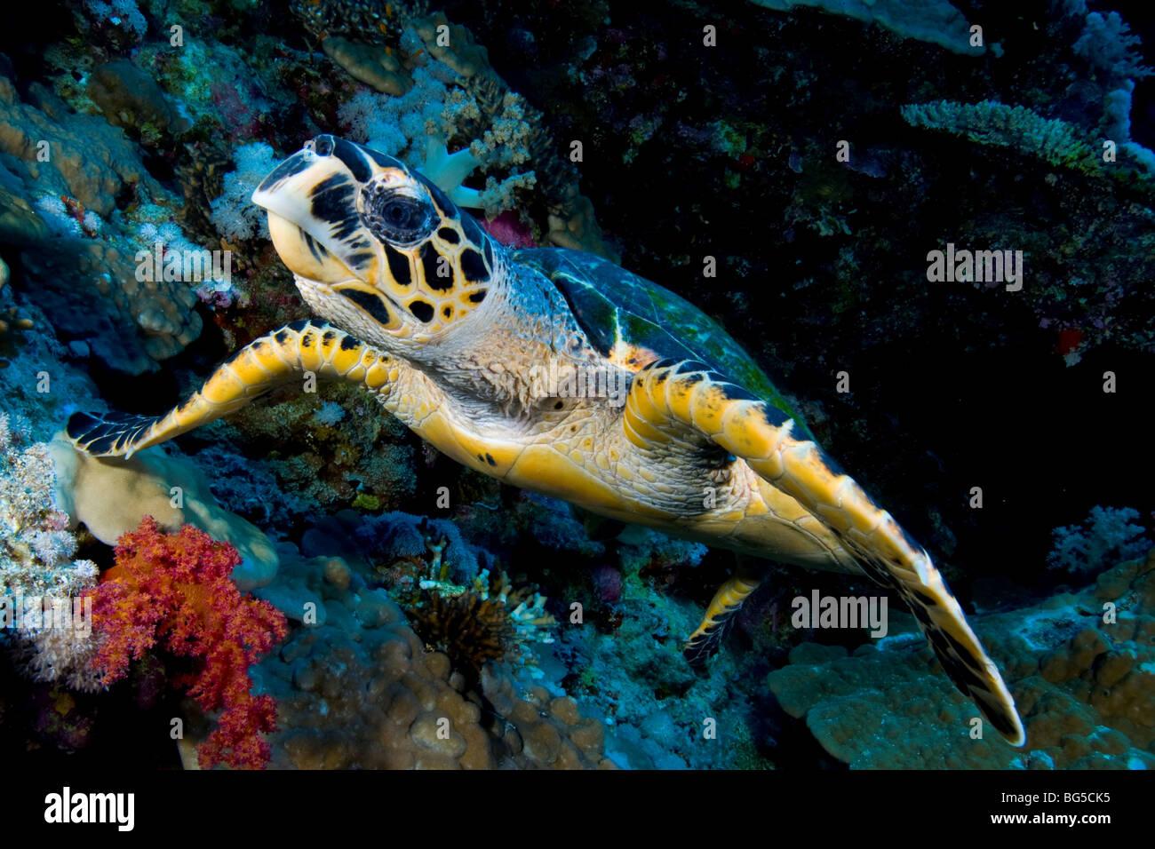 Barriere coralline del Mar Rosso, Ras Mohammed, parco nazionale, la tartaruga, oceano, scuba, subacquea, sull'oceano, Immagini Stock