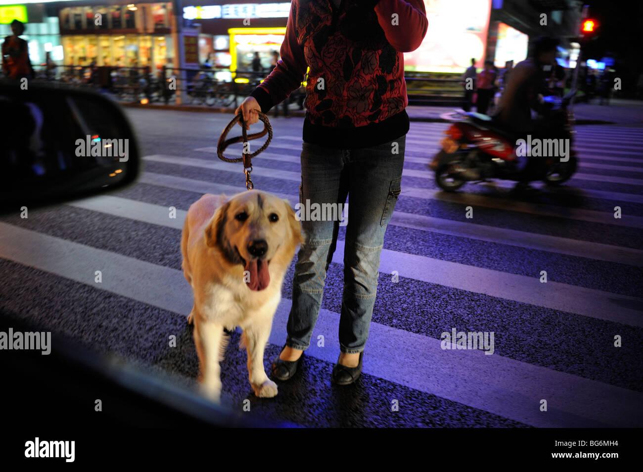 Un cane guida a Shanghai in Cina.19-ott-2009 Immagini Stock