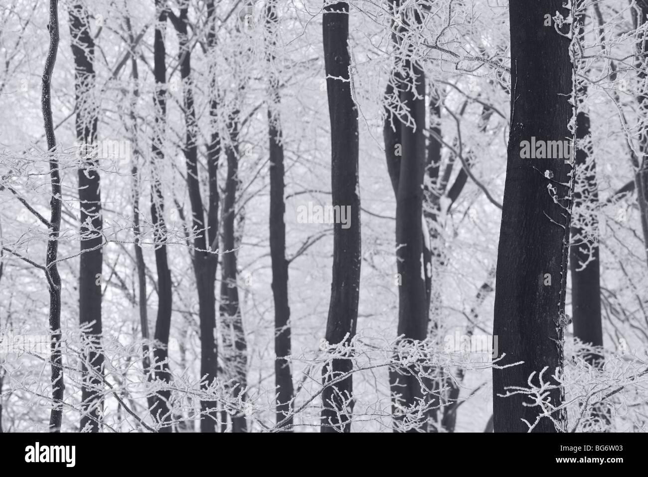 Inverno alberi & frost, Gloucestershire, Regno Unito Immagini Stock