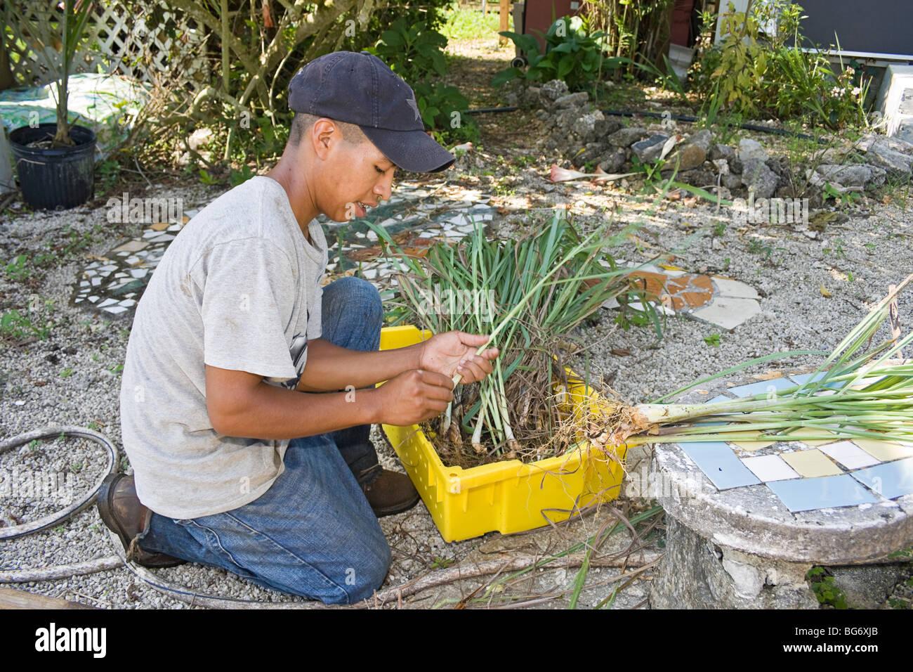 Lavoratore separa lemon grass su CSA (comunità supportato agricoltura) fattoria per la Redland area a sud di Immagini Stock