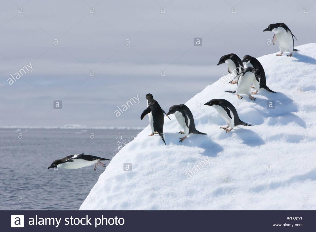 Un gruppo di pinguini adelie seguire il leader e salta fuori un iceberg uno dopo l'altro Immagini Stock