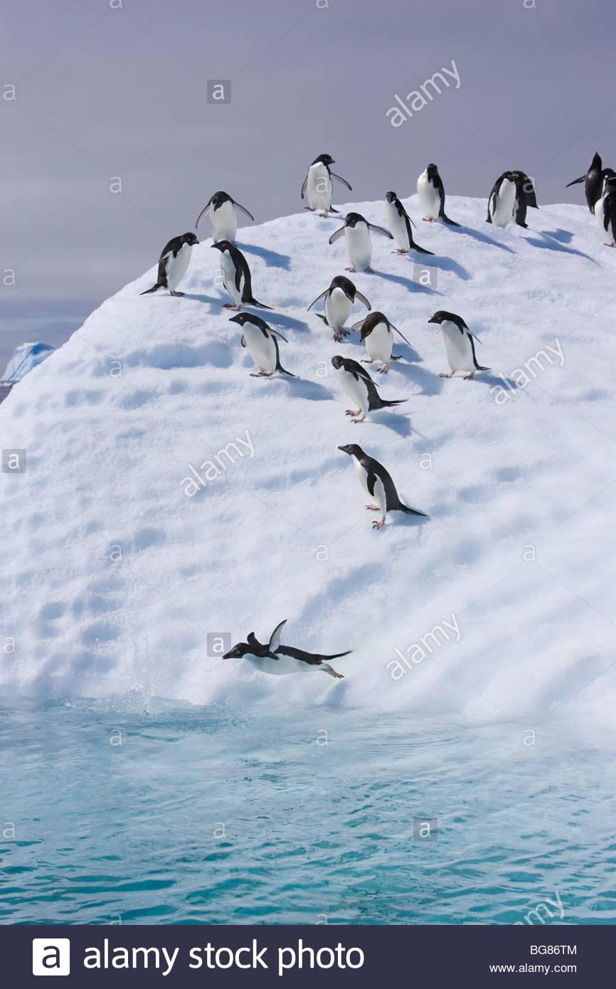 Un gruppo di pinguini adelie seguire il leader e salta fuori un iceberg Immagini Stock