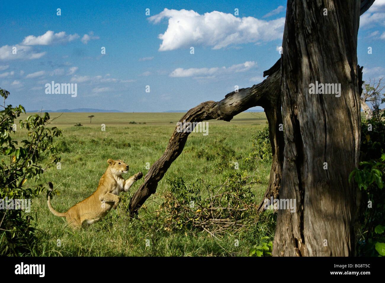 Leonessa africana un salto nella struttura ad albero, Masai Mara, Kenya Immagini Stock