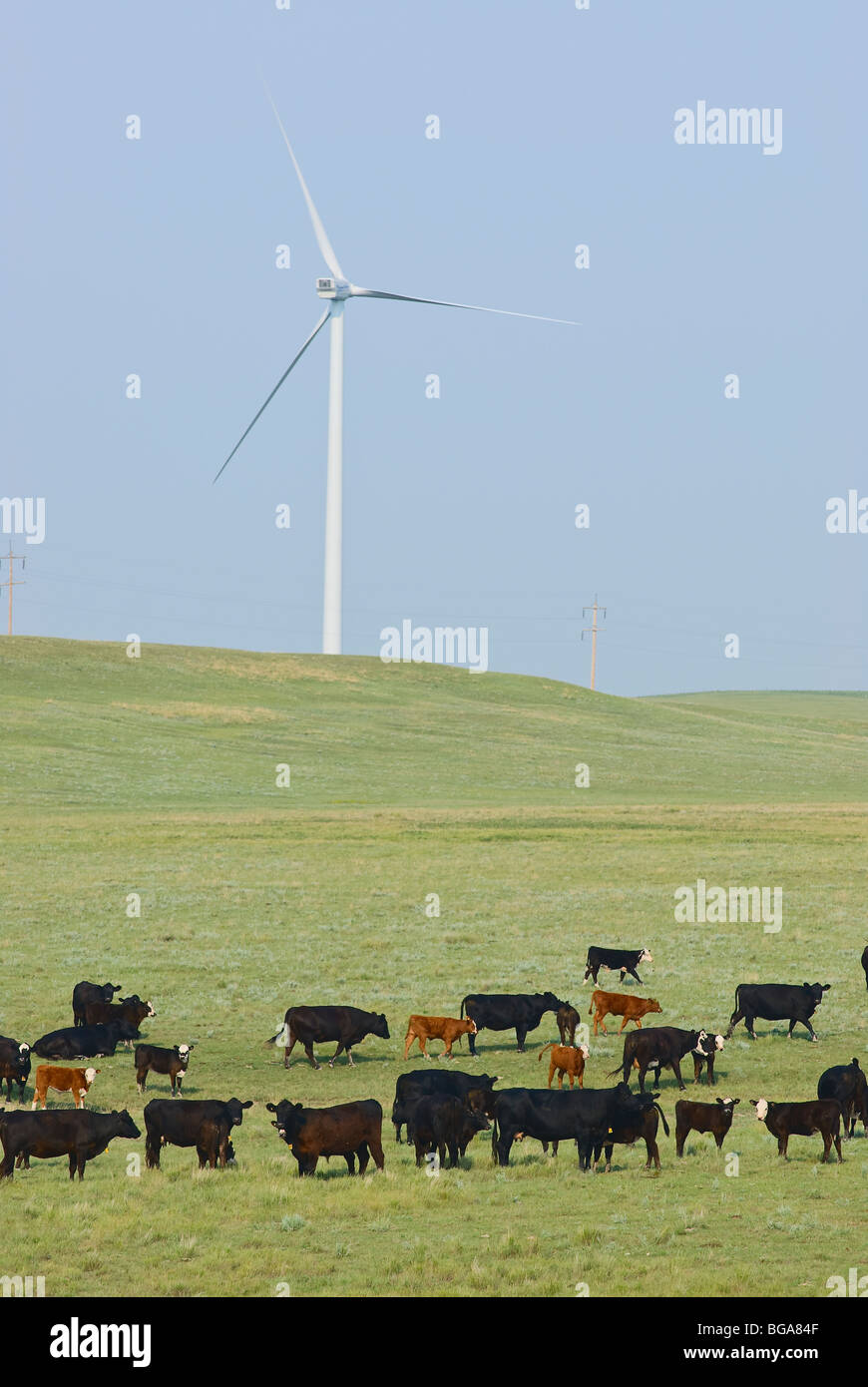 Utilizzazione mista del suolo. Bestiame sulla terra di gamma con energia di vento turbine. Immagini Stock