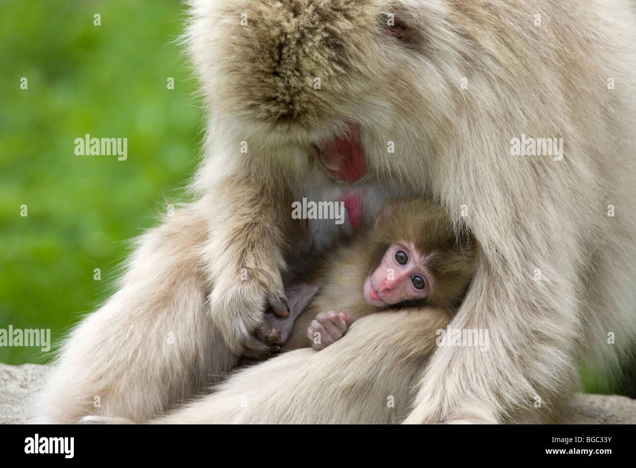 Macaque giapponese (Macaca fuscata) grooming Madre scimmia bambino Immagini Stock