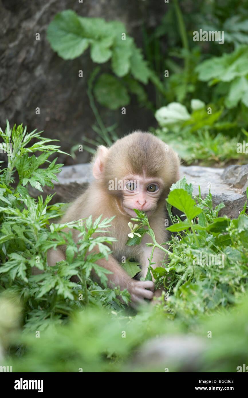 Macaque giapponese (Macaca fuscata) baby giocando con fiore Immagini Stock