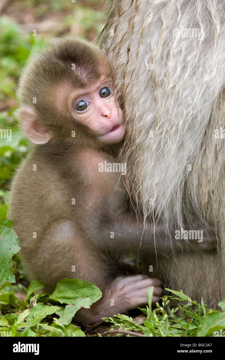 Macaque giapponese baby aggrappati alla madre di fur (Macaca fuscata) Immagini Stock