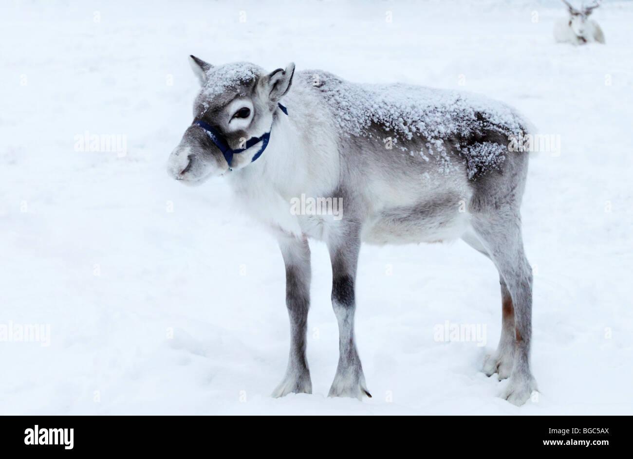 Un vitello di renne nella neve, Lapponia, Finlandia Foto Stock