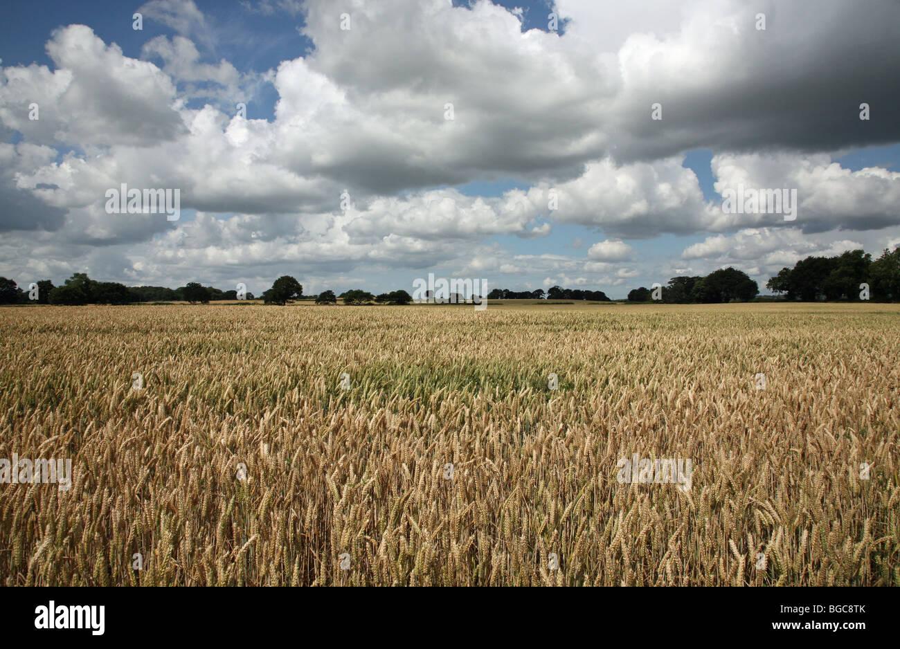 Un campo di orzo nel Cheshire England su una giornata d'estate con cielo blu e nuvole bianche Immagini Stock