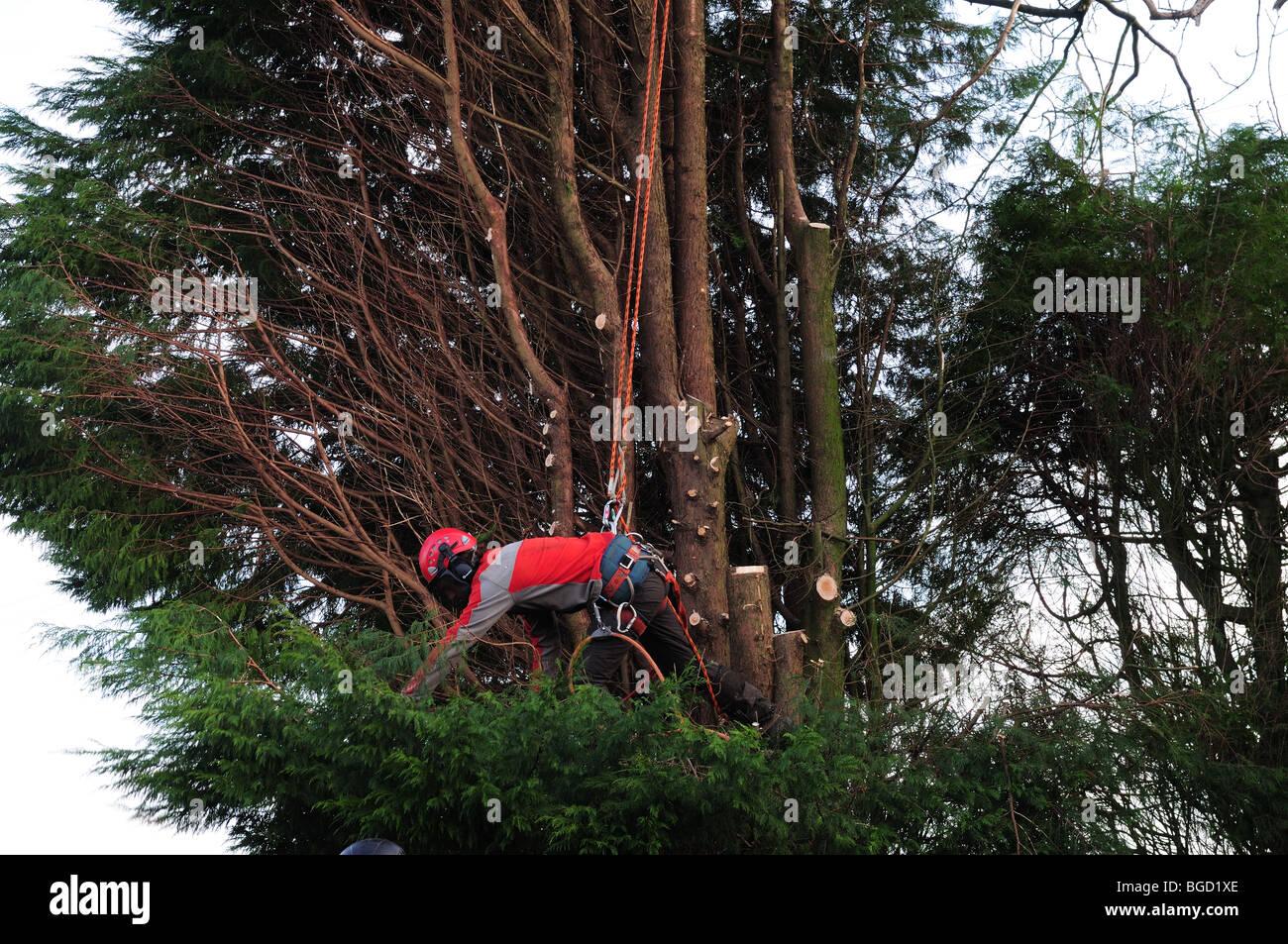 Tree chirurgo indossando un abbigliamento protettivo e utilizzando cavi di sicurezza il taglio di un grande albero Immagini Stock