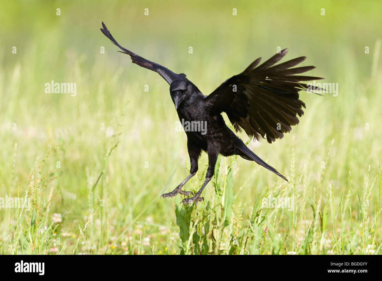 American Crow sbarco nel campo Immagini Stock