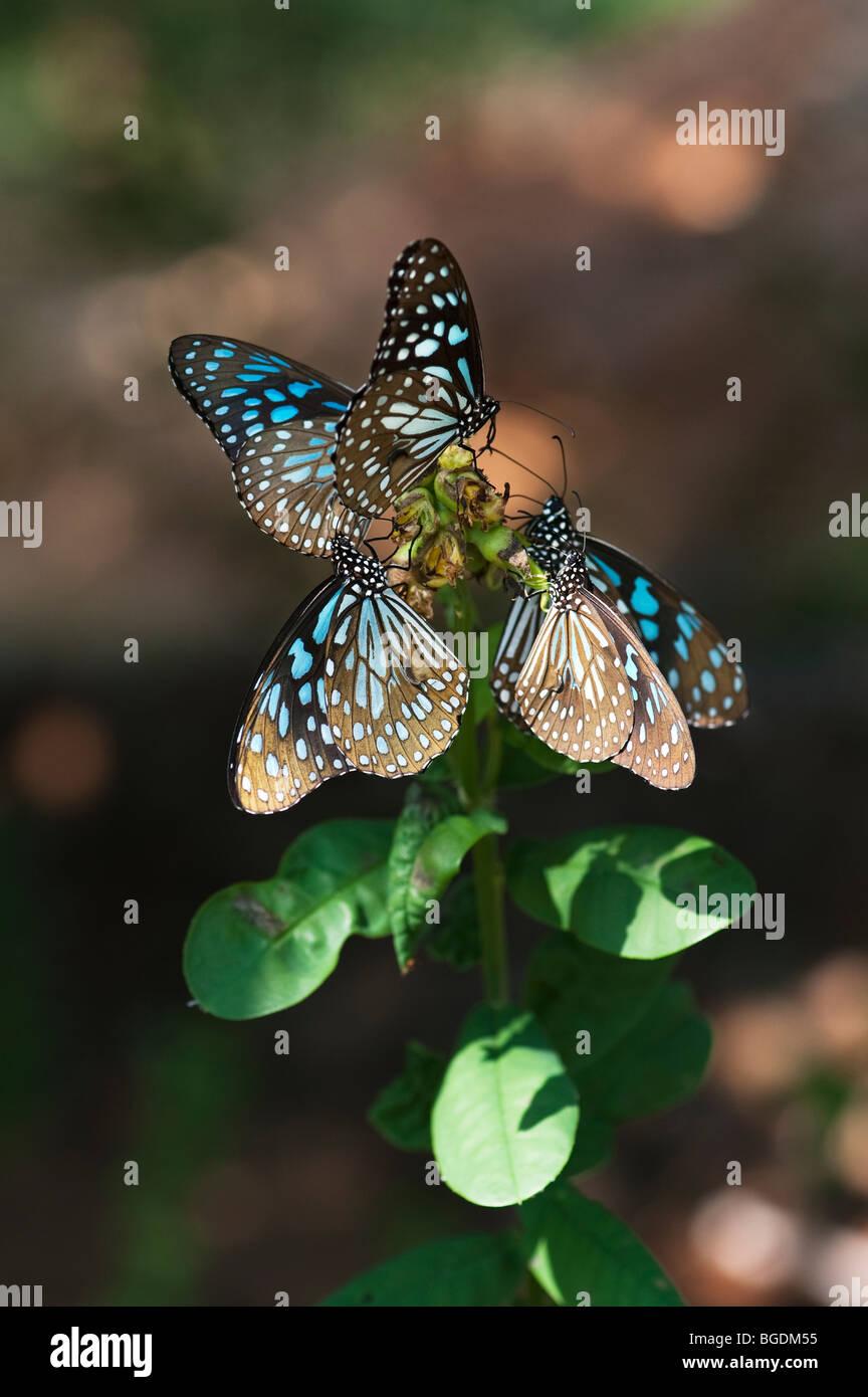 Tirumala limniace. Gruppo di tigre blu farfalle alimentazione su un impianto. Andhra Pradesh, India Immagini Stock