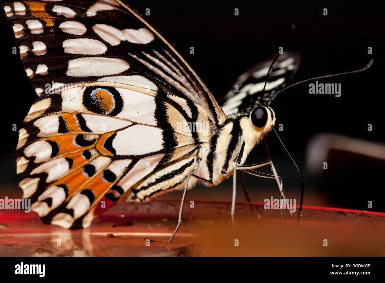 Calce comune Butterfly (Papilio demoleus), Parc de la Tête d'or (Golden Head Park), Lione, Francia Immagini Stock