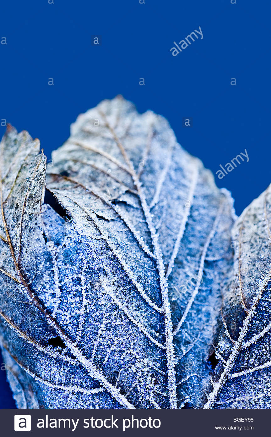 La brina sulla foglia congelati Immagini Stock