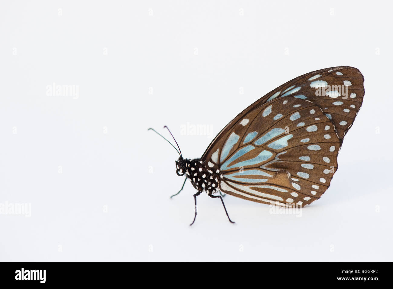 Tirumala limniace. Blue Butterfly Tiger su sfondo bianco Immagini Stock