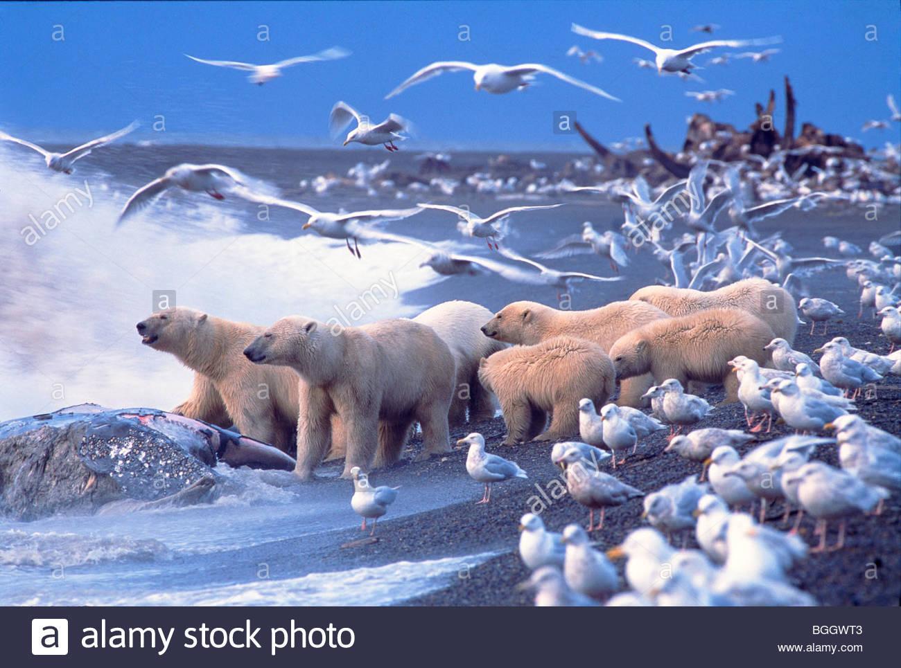 Gli orsi polari (Ursus maritimus) riuniscono intorno alla balena grigia carcassa, circondato da Glaucous Gabbiani. Immagini Stock