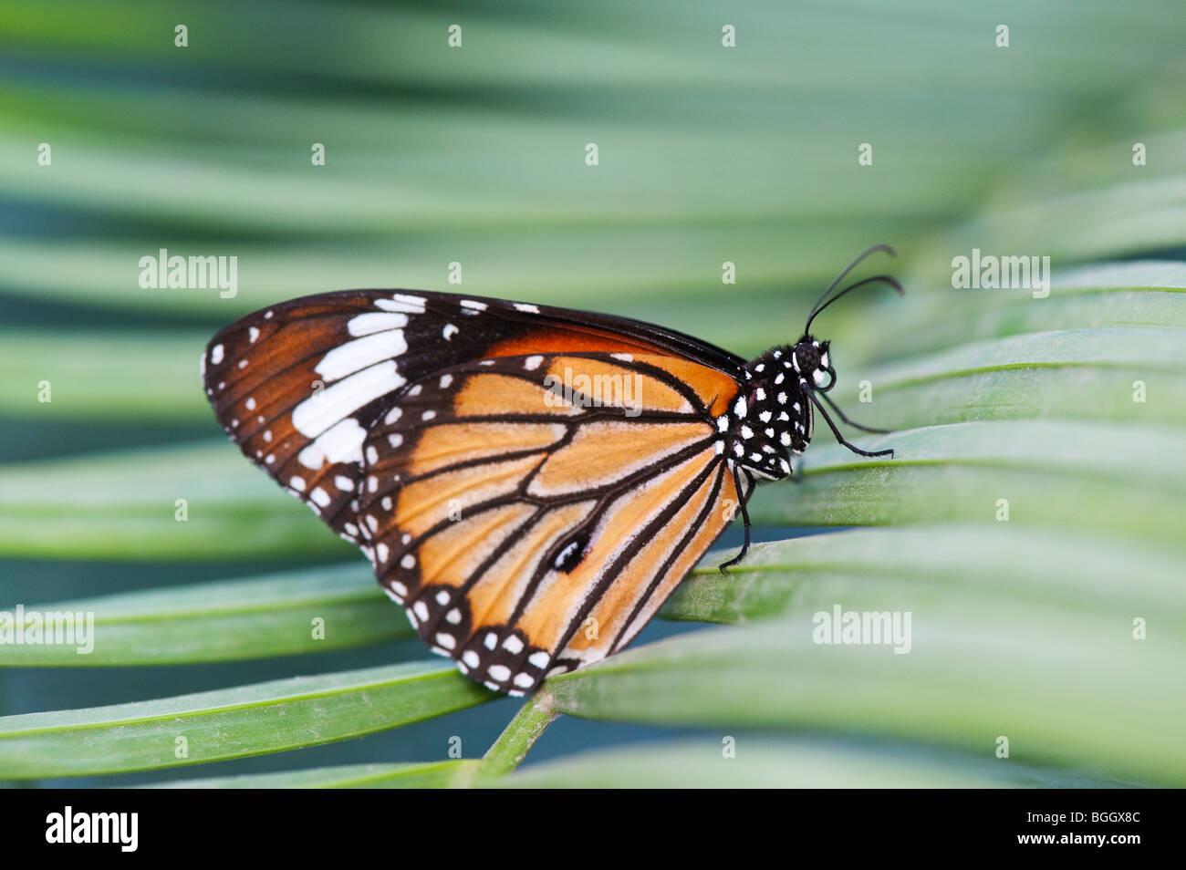 Danaus genutia. Striped tiger butterfly / comune tiger butterfly appoggiata su una foglia di palma in campagna indiana. Immagini Stock