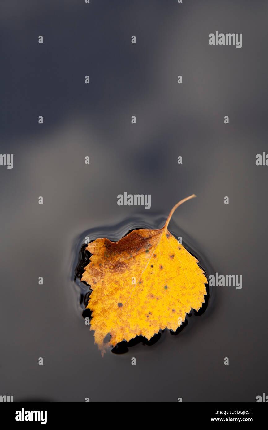 Uno giallo Betulla foglie galleggianti sulla nera superficie dell'acqua Immagini Stock