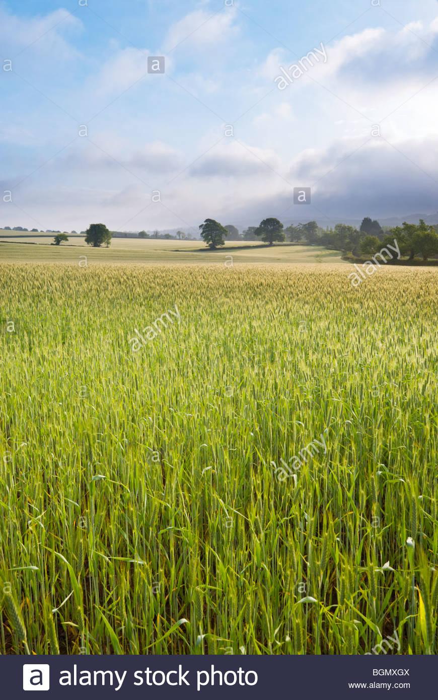Campo di grano, vicino a Budleigh Salterton, East Devon, in Inghilterra. Immagini Stock