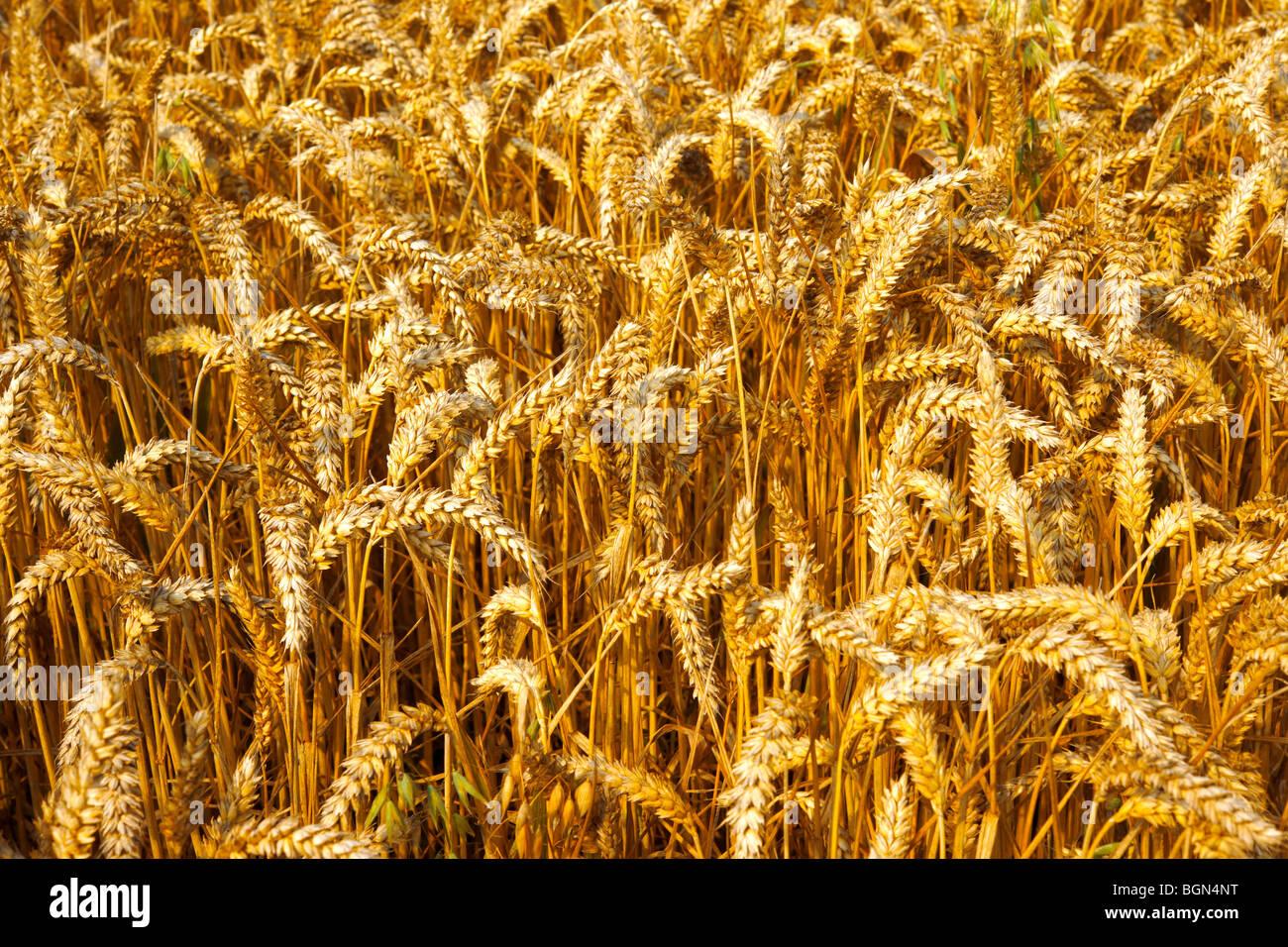 Mature di grano (mais) in un archiviato pronto per la mietitura Immagini Stock