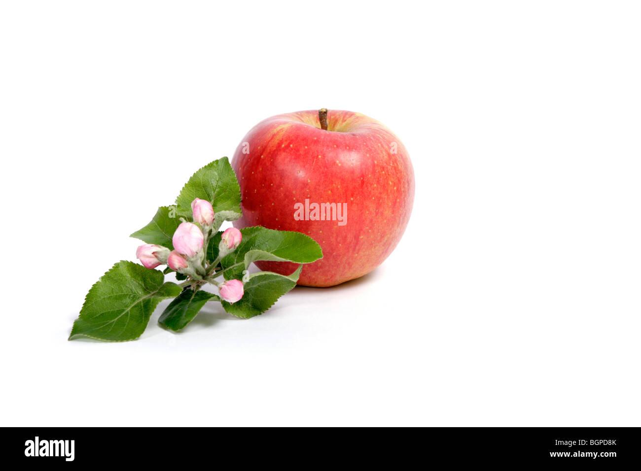 Apple con il ramoscello di un albero di mele in fiore Immagini Stock
