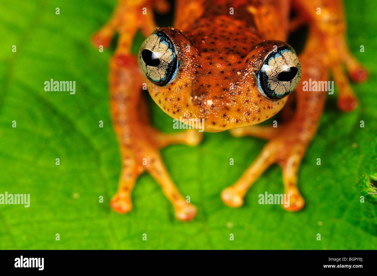 Raganella (Boophis tephraeomystax) (Boophis difficilis}, adulto, Andasibe-Mantadia Parco nazionale del Madagascar Immagini Stock