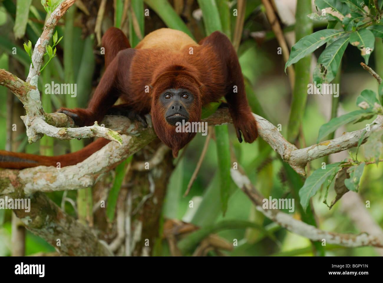 Red scimmia urlatrice (Alouatta Alouatta), Adulto, Iquitos, Perù Immagini Stock