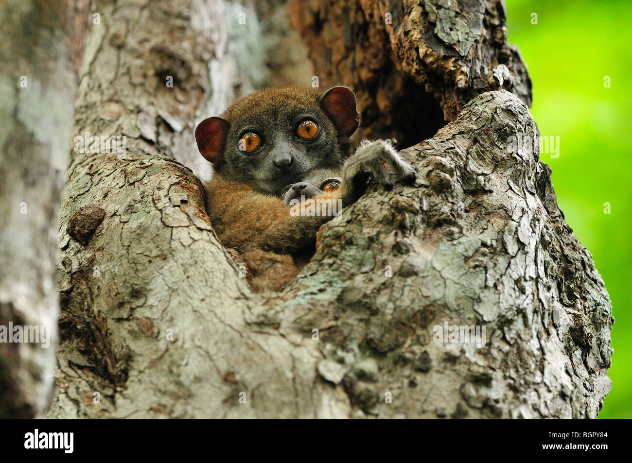 Ankarana lemure sportive (Lepilemur ankaranensis), femmina con il bambino nella struttura ad albero, Ankarana, il Immagini Stock