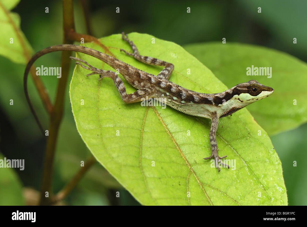 Anole Lizard (Anolis notopholis), Adulto su foglia, San Cipriano Riserva, Cauca, Colombia Immagini Stock