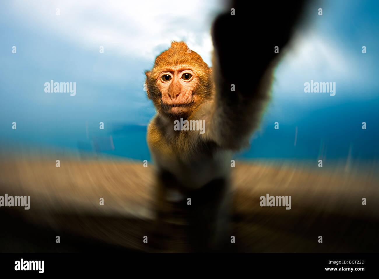 Baby monkey raggiungendo (Macaca sylvanus), Rocca di Gibilterra, Regno Unito Immagini Stock