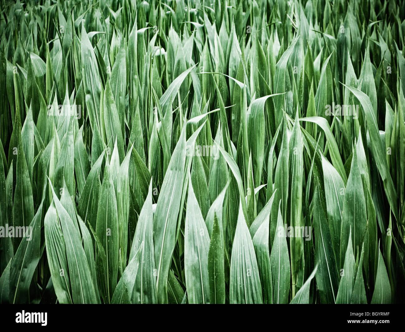 Il raccolto di mais foglie close up Immagini Stock