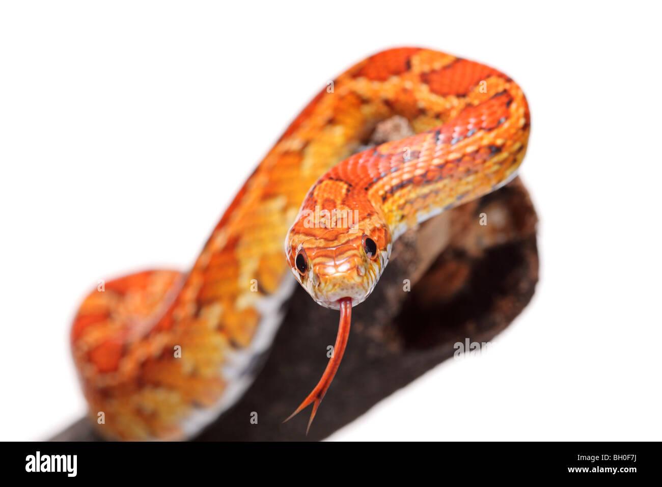 Snake su un ramo Immagini Stock