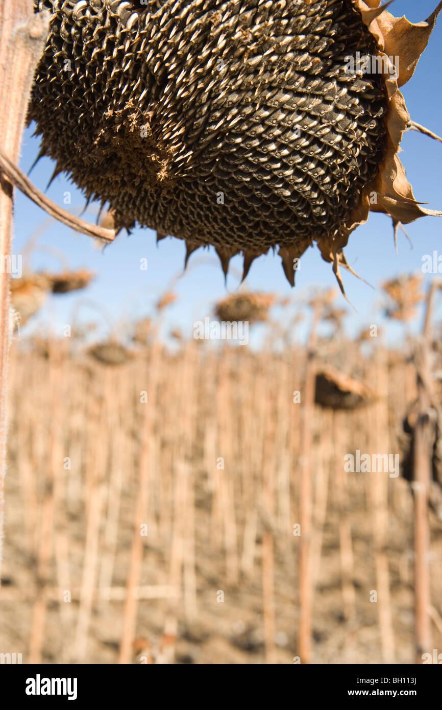 Primo piano della grande girasole essiccato in un campo, inverno Immagini Stock