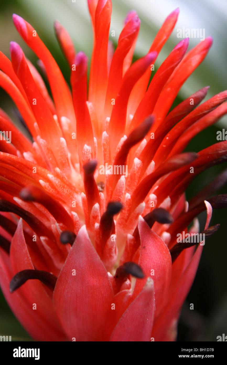 Foto di stock di un Bromeliad nome botanico Bromeliaceae aechmea. Immagini Stock