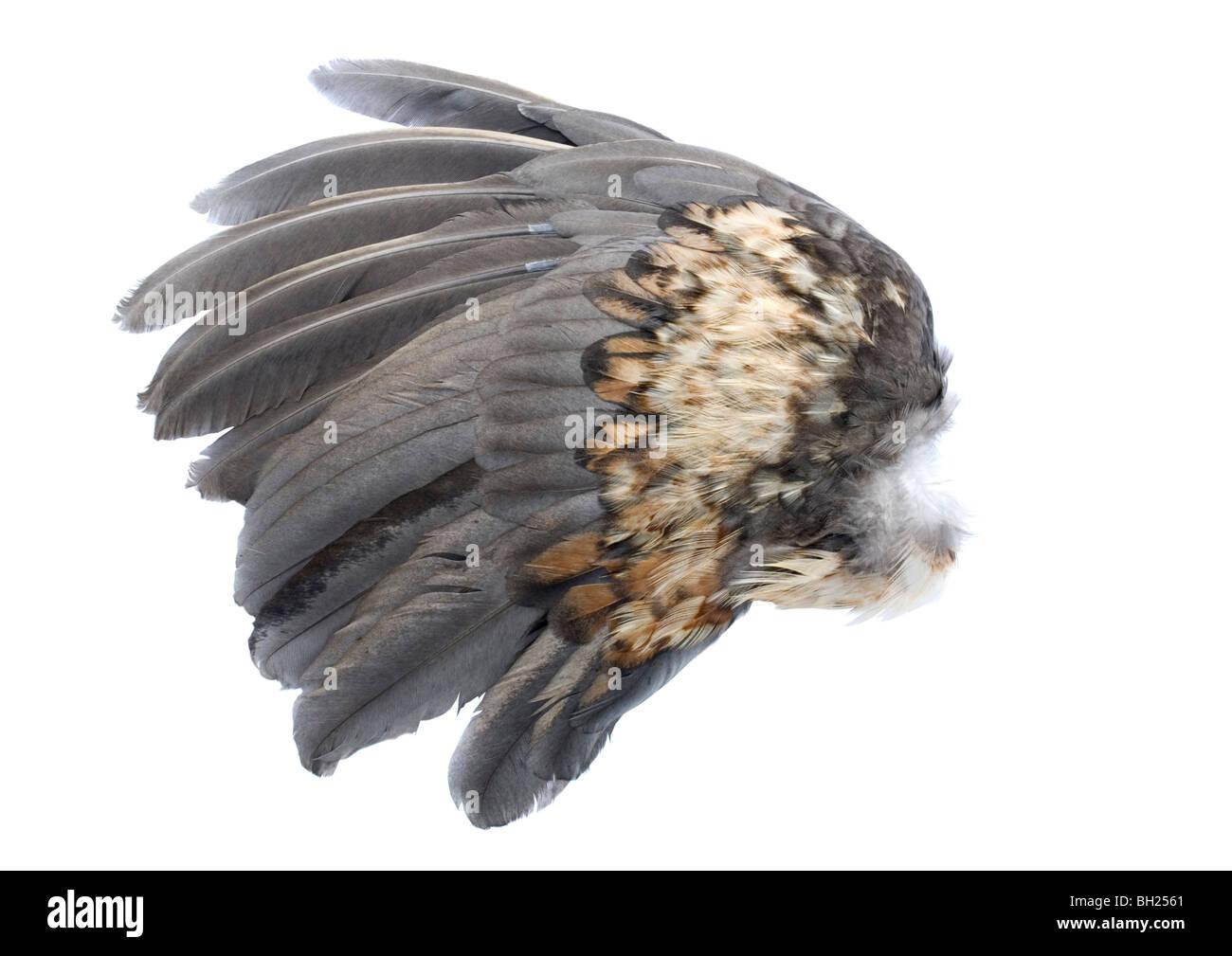 Bird ala da un pollo Foto Stock